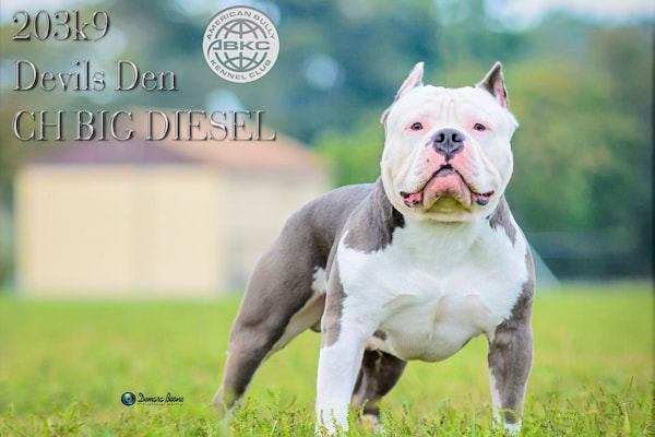 devils-den-bullies-Champion Big Diesel-021
