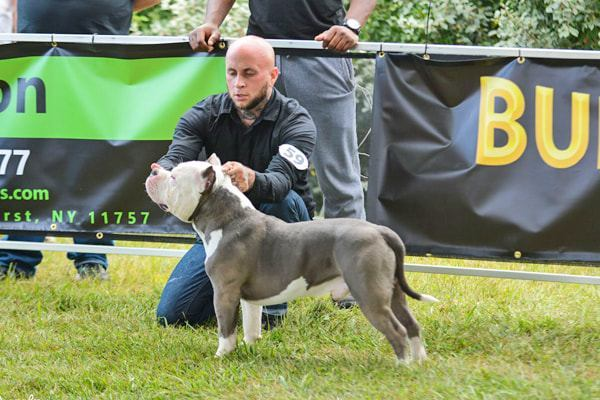 devils-den-bullies-Champion Big Diesel-022