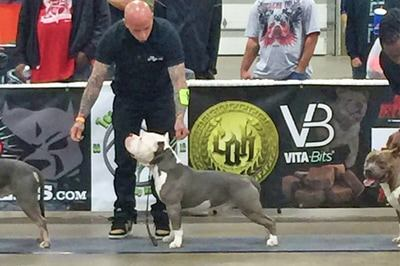devils-den-bullies-Champion Big Diesel-023