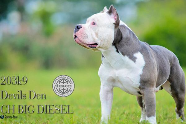 devils-den-bullies-Champion Big Diesel-024