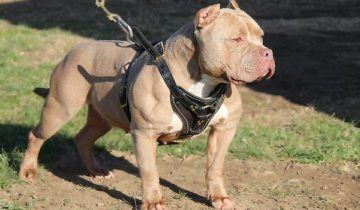 American bully – Female – Cinnamon Bliss