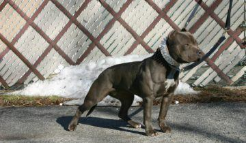 American Bully – Female – Jaden